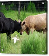 Cow Playing Head Games Acrylic Print
