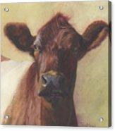 Cow Portrait IIi - Pregnant Pause Acrylic Print