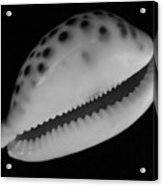 Cowry Shell In Black And White Acrylic Print