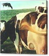 Cows 2 Acrylic Print
