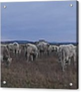 Cows And Cows Acrylic Print