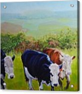 Cows And English Landscape Acrylic Print