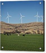 Cows And Windmills Acrylic Print