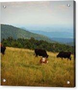 Cows At Doughton Park Acrylic Print