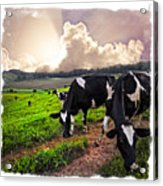 Cows At Sunset Bordered Acrylic Print
