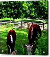 Cows Grazing Acrylic Print
