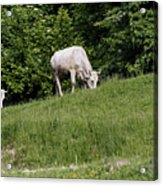 Cows grazing on the edge of mountain road Acrylic Print