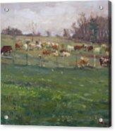 Cows In A Farm, Georgetown  Acrylic Print