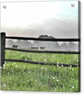 Cows In Field Acrylic Print