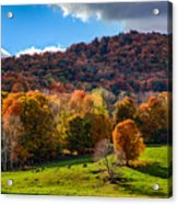 Cows In Pomfret Vermont Fall Foliage Acrylic Print