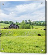 Cows In The Country Acrylic Print