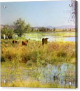 Cows In The Desert Acrylic Print