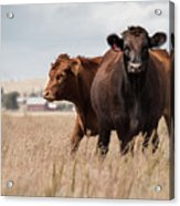 Cows In The Fall Pasture Acrylic Print