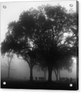 Cows In The Mist Acrylic Print by David Mcchesney