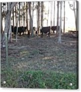 Cows In The Woods Acrylic Print