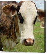 Cows8937 Acrylic Print