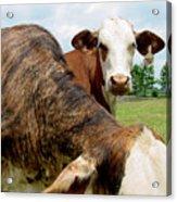 Cows8938 Acrylic Print
