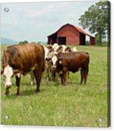 Cows8939 Acrylic Print