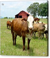 Cows8944 Acrylic Print