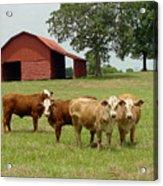 Cows8954 Acrylic Print
