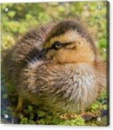 Coy Duckling Acrylic Print