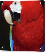 Coy Scarlet Macaw Acrylic Print