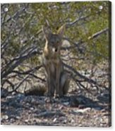 Coyote 3 Acrylic Print