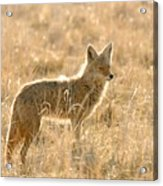 Coyote At Dawn Acrylic Print
