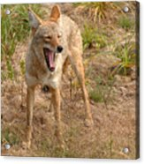 Coyote Caught In A Yawn Acrylic Print