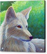 Coyote Charisma Acrylic Print