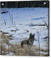 Coyote Food Hunting Acrylic Print