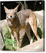 Coyote Grin Acrylic Print