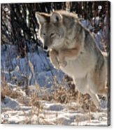 Coyote In Mid Jump Acrylic Print