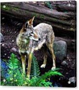 Coyote In Mid Stream Acrylic Print