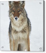 Coyote Looking At Me Acrylic Print