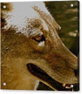 Coyote Profile Acrylic Print
