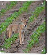 Coyote Pup Acrylic Print