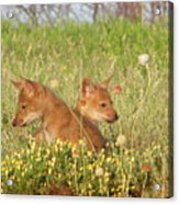 Coyote Pups Acrylic Print
