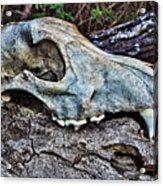 Coyote Skull Acrylic Print