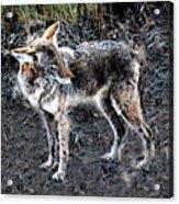 Coyote Waits Acrylic Print