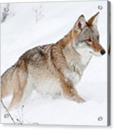 Coyote Winter Acrylic Print