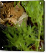 Cozy Cat Acrylic Print by ShaddowCat Arts - Sherry