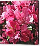 Crab Apple Blossoms 04302015-1 Acrylic Print