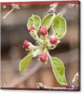 Crab Apple Buds Acrylic Print
