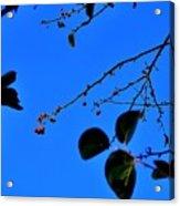 Crab Apples Blue Sky 6510 Acrylic Print