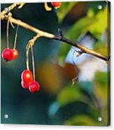 Crab Apples Branches P 6543 Acrylic Print