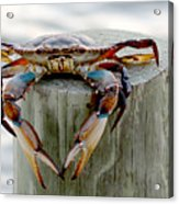 Crab Hanging Out Acrylic Print