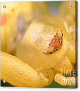 Crab Spider Head Acrylic Print