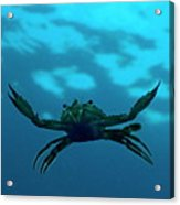 Crab Swimming In The Blue Water Acrylic Print