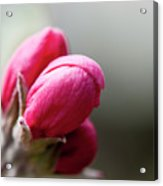 Crabapple Buds Acrylic Print